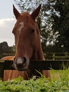 Minnie - 11 year old thoroughbred X Quarter Horse