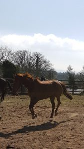 Dancer - 8 year old Irish Sport Horse (Rescued by ISPCA)